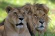 lionlionne1.jpg